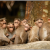 man-animal conflict, bonnet macaque, India